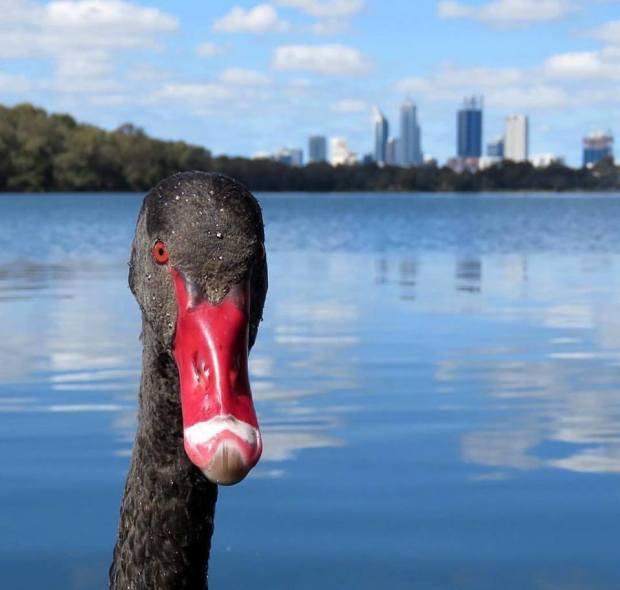 swan-selfie